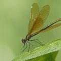 Caloptéryx vierge ♀