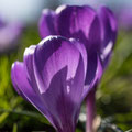 Frühlings erste Strahlen von Tanja T.