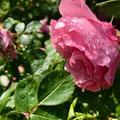 """2. Platz (Oberstufe+): """"Rose nach Schauer"""" von Wolfgang A."""