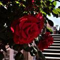 """1. Platz (Mittelstufe): """"Rote Rosen"""" von Lasse G."""