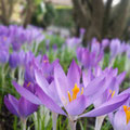 Erste Frühlingsgrüße der Krokusse von Enno R.