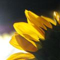 """""""Der gelbe Schimmer"""" von Lisa"""