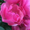 """2. Platz (Mittelstufe): """"Rosa Schönheit"""" von Blerta A."""