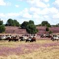 Heidschnucken in der blühenden Heide bei Niederhaverbeck