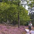 Wanderer in der blühenden Heide