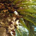 Unsere Nachbarn in den Palmen (Nasenkakadu)