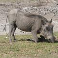 Ein Warzenschwein in Namibia.