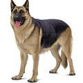 ジャーマンシェパードのイラスト 人気ペット犬のリアルイラストです。無断使用禁止