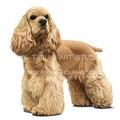 アメリカン・コッカー・スパニエルのイラスト 人気ペット犬のリアルイラストです。無断使用禁止
