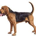 ブラッドハウンドのイラスト 人気ペット犬のリアルイラストです。無断使用禁止