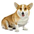 ウェルシュコーギーのイラスト 人気ペット犬のリアルイラストです。無断使用禁止