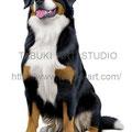 バーニーズMtDのイラスト 人気ペット犬のリアルイラストです。無断使用禁止