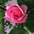 Les roses en bouton du jardin de La Villa Victoria Auvergne