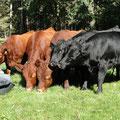 Dexter-Rinder bzw. -fleisch zum Verkauf