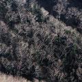 10月中旬・スカイライン沿いの岳樺林