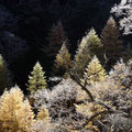 11月上旬・霧氷の唐松林・安房峠