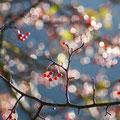 11月中旬・輝く小梨の実・上高地