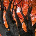 10月中旬・紅葉の大カエデ・一ノ瀬
