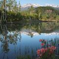 水辺のレンゲツツジ・6月中旬・まいめ池