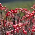 10月中旬・ナナカマドの赤い実・位ヶ原