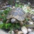 Prominente Schildkröte | CH-anonym