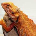 Nikki - Dachiu orange Leatherback het Hypo