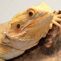 Mandy - Red / Yellow Hypo Citrus Tiger
