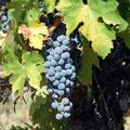 Cabernet Sauvignon-Trauben genießen die letzten Sonnenstrahlen vor der Lese