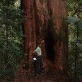 Grampions Nationaal Park.  Boompje van ongeveer 2 meter doorsnee.