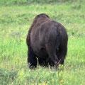 die Bisons leben hier im Park!