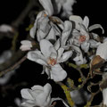 Magnolienblüten bei Nacht !