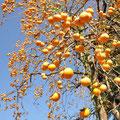 雲然柿(仙北市)