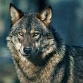Wolf © Rolf Bräsecke