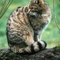 Wildkatze © Rolf Bräsecke