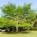 Ceiba en Palenque, Chis