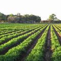 Campos de Zanahoria, Gto