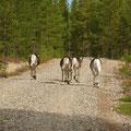 Reindeers in a gravel road.
