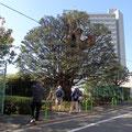 旧細川邸のシイの木