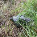 auch das kann einem auf einer Hundefreilaufwiese passieren, eine entlaufene oder ausgesetzte Schildkröte, wir haben die Tierrettung gerufen, die hat sie dann in Sicherheit gebracht.
