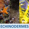 Vidéos échinodermes