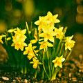 <b>Daffodils (286/365)</b>