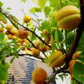 竹下様 『杏』 福岡県