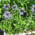 杉原様 『春菊の花』 広島県