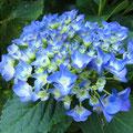 兼子様 『紫陽花』 福島県