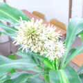 飛岡様 『幸福の木のお花』 兵庫県
