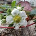 PIN様 『いちごの花』 大阪府