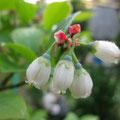 嶋田様 『ブルーベリーのお花』 千葉県
