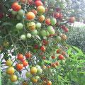 竹下様 『ミニトマト』 福岡県