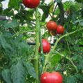 杉原様 『家庭菜園トマト』 広島県