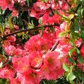 杉原様 『ボケの花』 広島県